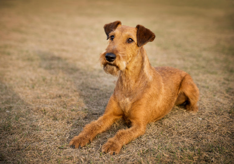 irish-terrier-Hero